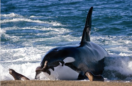 Orca-Leones