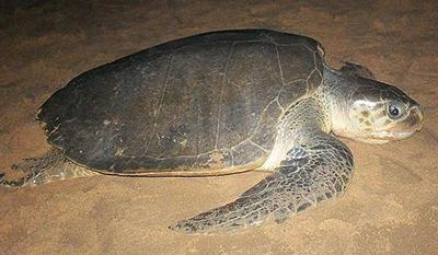TortugaOlivácea